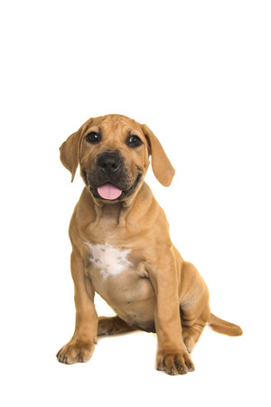 boerboel dog: Cute boerboel or South African mastiff puppy sitting and facing the camera on a white background seen from the front