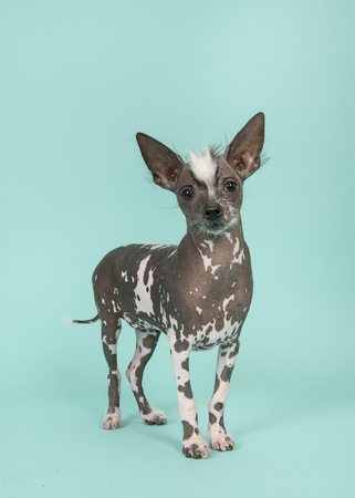Standing chinese crested puppy dog facing the camera on a turquoise blue background