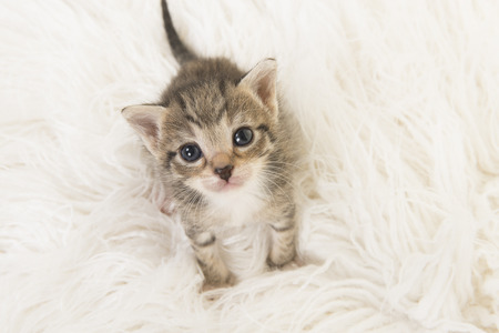 Adorable three weeks old tabby baby cat looking up sitting on a white fur seen from a high angle view