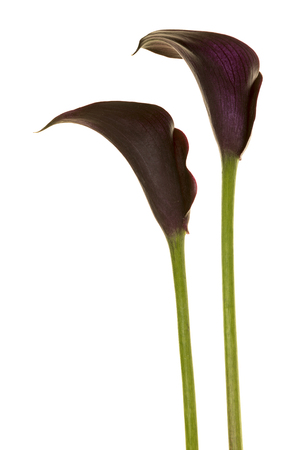 Two black calla lilly flowers isolated on a white background Stock Photo