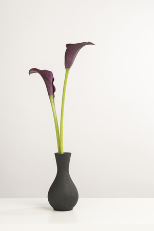 Two black calla lily flowers in a black vase on a white shelf on a white background 스톡 콘텐츠