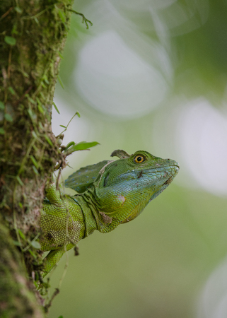 Portrait of a basilisk lizard looking around the corner of a tree outside