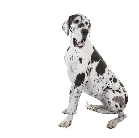 Harlequin sitting great dane dog isolated on a white background