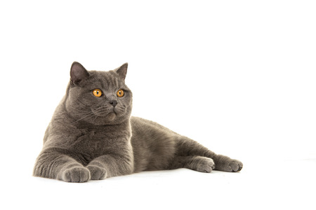 Pretty grey british shorthair cat lying down isolated on a white background