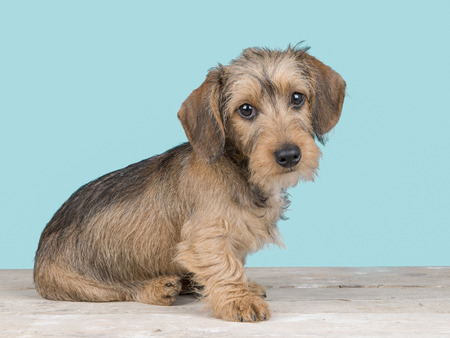 Cute dachshund puppy dog sitting facing the camera on a wooden floor and blue background