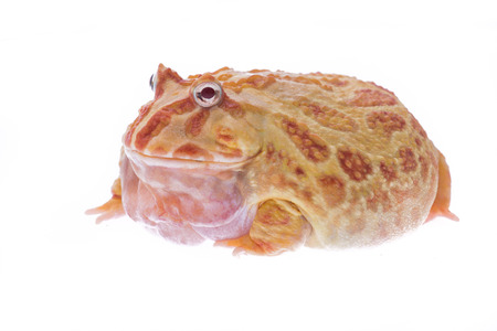 Big huge fat red frog isolated on a white background Stock Photo