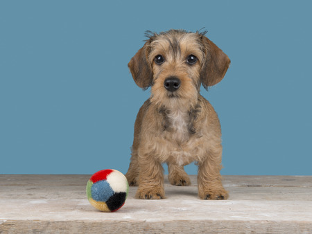 Cute standing dachshund puppy with ball in front of a blue background