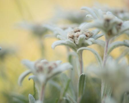 Pretty blooming edelweiss flowers in the field
