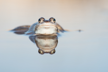 Pretty blue male moor frog lying in the water with its reflection in the water Stock Photo