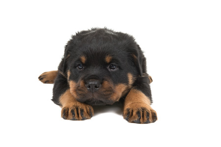 Rottweiler puppy lying down seen from the front isolated on a white background