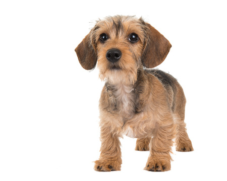 Standing cute wire haired dachshund puppy isolated at a white background