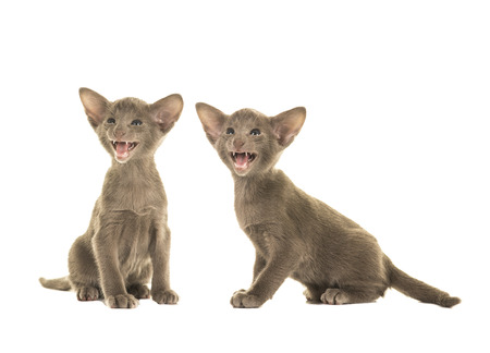 Two grey oriental shorthair baby cats sitting and singing or speaking isolated on a white background