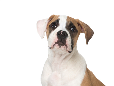 portait: Isolated portait of a American Bull dog puppy looking up