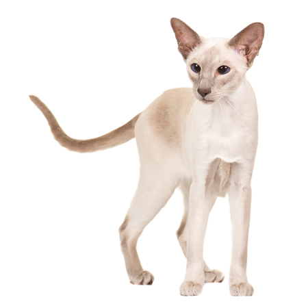 Pretty gracious siamese cat standing isolated at a white background