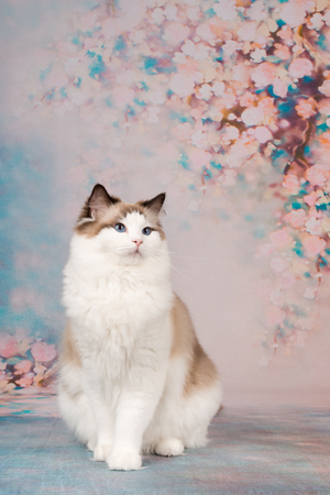 Pretty ragdoll cat at a romantic background with flowers