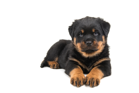 Cute lying down rottweiler puppy looking in the camera isolated at a white background