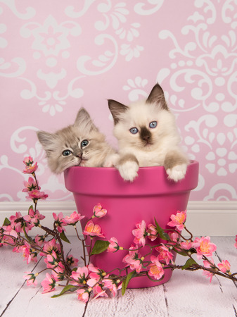 Two rag doll baby cats in a pink flowerpot with pink flowers in a pink living room setting