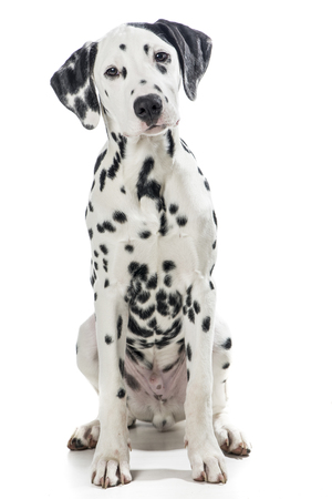 Sitting adult black and white dalmatian dog isolated on a white background Stockfoto