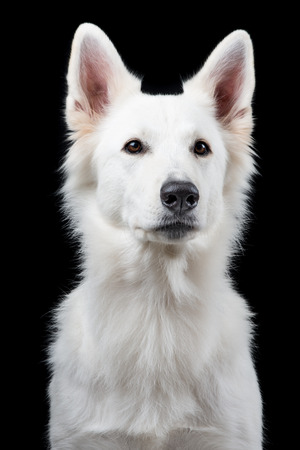 shephard: Portrait of a cute Swiss white shepherd at a black background