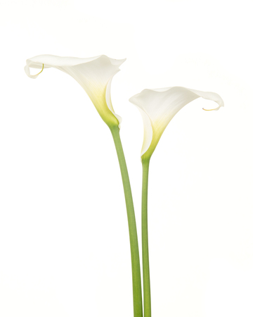 Two pretty white calla lilies isolated on a white background