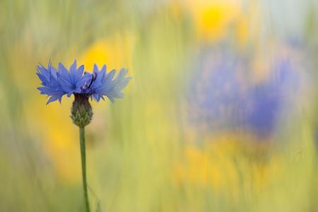 Blue blooming cornflower in a yellow flower field