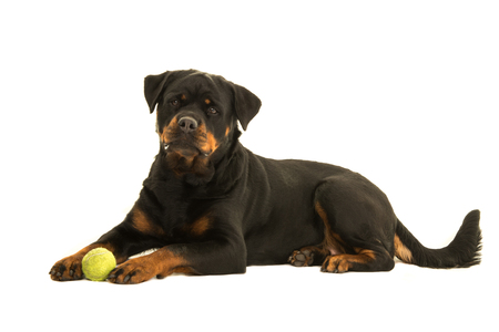 Rottweiler dog seen from the side lying down the floor with a ball looking at the camera isolated on a white background