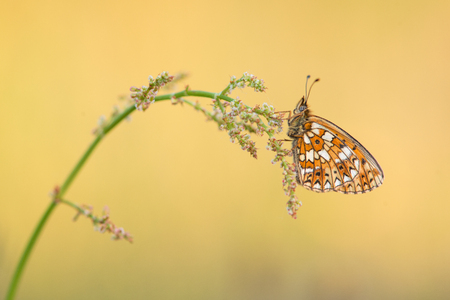 Pretty Small Pearl-bordered Fritillary butterfly resting on grass with golden background