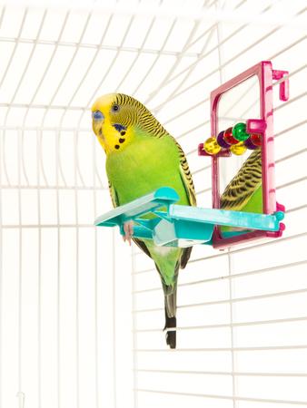 Leuke dwergpapegaai in een vogelkooi met kleurrijk speelgoed