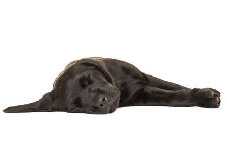 Cute sleeping black labrador retriever puppy dog on a white background Stockfoto