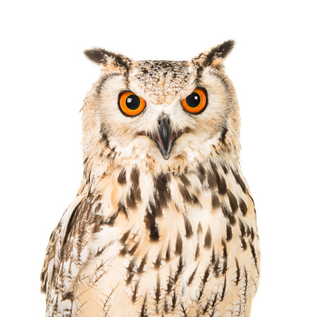 Portrait of an eagle owl with open mouth seen from the front on a white background Stok Fotoğraf