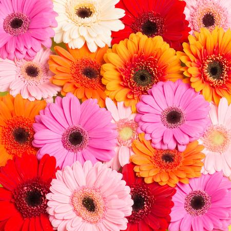 Colorfull blooming Gerbera flowers seen from above 写真素材