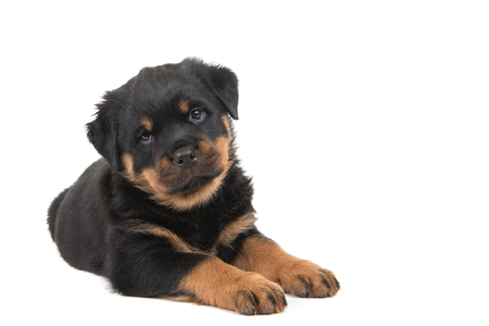 Cute rottweiler puppy lying down and looking in the camera isolated on a white background Stock Photo
