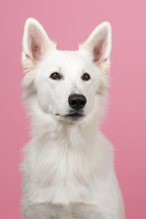 shephard: Portrait of a Swiss white shepherd at a pink background
