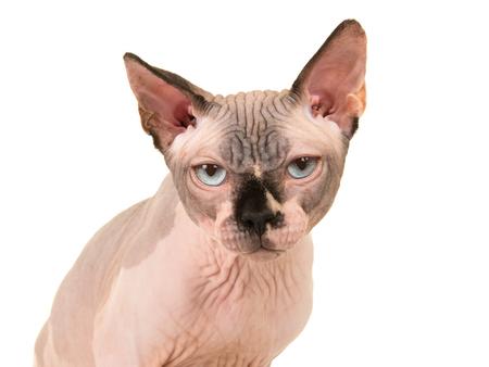 Portrait of a grumpy looking sphinx cat with blue eyes Stock fotó