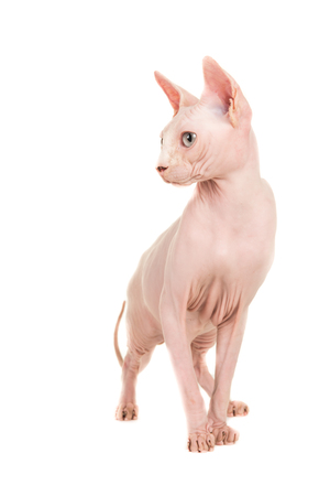Gracious sphinx naked cat looking sidewards isolated at a white background