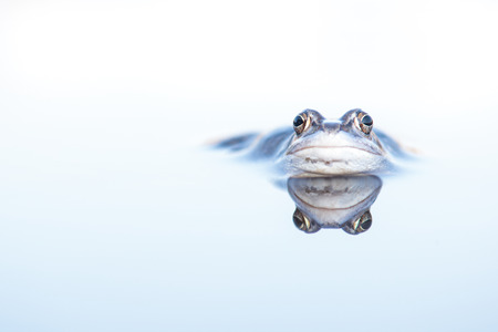 Blue male moor frog lying in the water with its reflection in the water