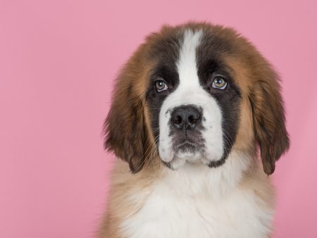 Portrait of a cute siant bernard puppy dog on a pink background