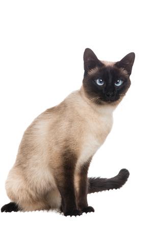 예쁜 siamese 고양이는 흰색 배경에 앉아