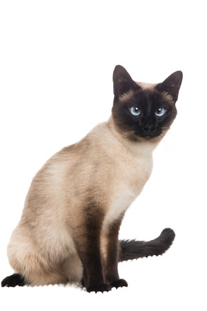 Pretty siamese cat sitting at a white background