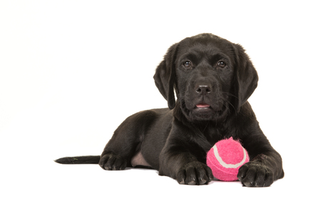 Cute black retriever puppy dog with pink ball isolated at a white background Stockfoto