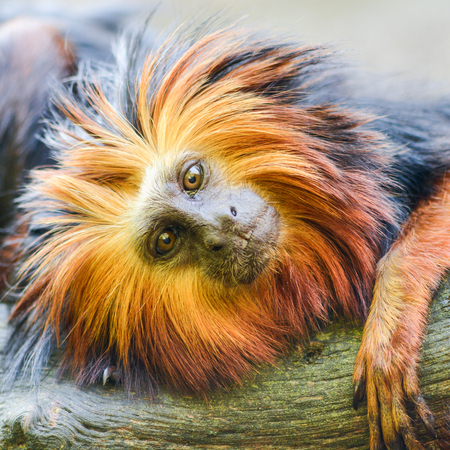 Portrait of a Golden headed lion tamarin monkey 版權商用圖片