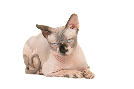 Grumpy naked sphinx cat lying down isolated on a white background