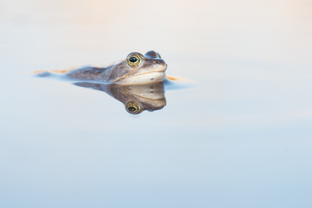 Blue male moorfrog lying in the water with its reflection seen from the side