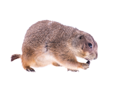 Eating single prairie dog isolated on a white background