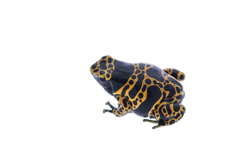 dendrobates: Yellow and black poison dart frog isolated at a white background