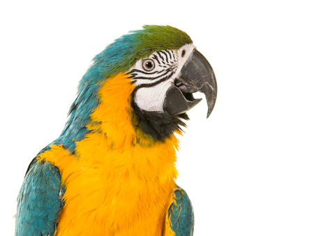 Blue and yellow macaw portrait looking to the right with its beek open on a white background Stockfoto