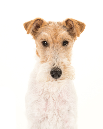 Adult fox terrier dog portrait isolated on a white background Фото со стока
