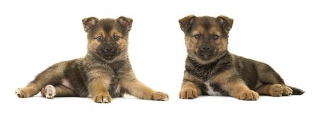 Twee pomsky puppyhonden liggend gezien van de kant geïsoleerd op een witte achtergrond Stockfoto - 88830376