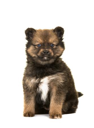 Leuke zittende pomsky een mengeling tussen schor en een pomeranian puppyhond die op een witte achtergrond wordt geïsoleerd Stockfoto