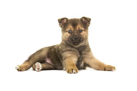 Het leuke pomsky puppyhond liggen gezien van de partij die de camera bekijken die op een witte achtergrond wordt geïsoleerd Stockfoto